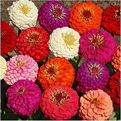 Package of 250 Seeds, Lilliput Mixed Zinnia (Zinnia elegans) Non-GMO Seeds By Seed Needs