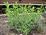 TARRAGON (French) Live Plant - 2 Live Plants Fit 3.5 Inches Pot
