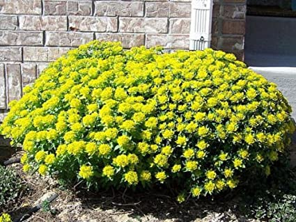 Amazon.com: Euphorbia Polychroma - Espumador de cojín con ...