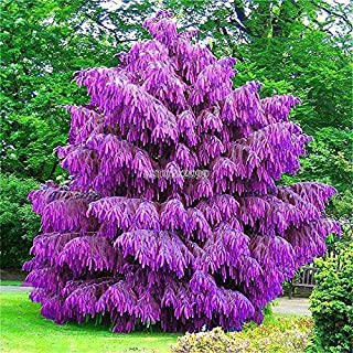 AGROBITS 100pcs / bag: 100Pcs Viola Pinus Semi cinese Bonsai pinoli Garden ER99 01