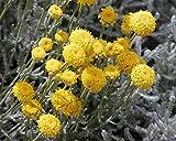 4 Bare Root of Santolina Chamaecyparissus Var. Nana - Lavender Cotton