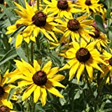 Outsidepride Rudbeckia Hirta Black-eyed Susan Wildflower Seeds - 5000 Seeds