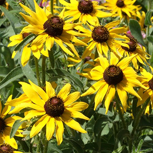 Outsidepride Rudbeckia Hirta Black-eyed Susan Flower Seeds - 5000 Seeds (Flower That Looks Like A Black Eyed Susan)