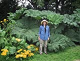 *NEW*GIANT GUNNERA MANICATA *7 seeds *RARE*4-8 FT.#1042