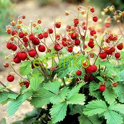 Loss Promotion! Wild Strawberry Seeds 50pcs/bag Woodland Strawberry Seeds Fruit Seeds Delicious Fruit Home Garden Bonsai Plant