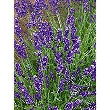 Lavender- Herb- 200 seeds