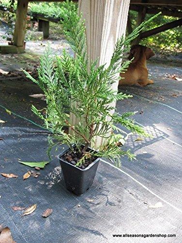 Murray Cypress, 20 plants, upright evergreen plant, plants