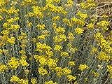 100 Seeds of Helichrysum italicum / Asteraceae