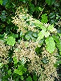 50 Seeds Rangiora Bush - Bushman's Friend - Brachyglottis repanda