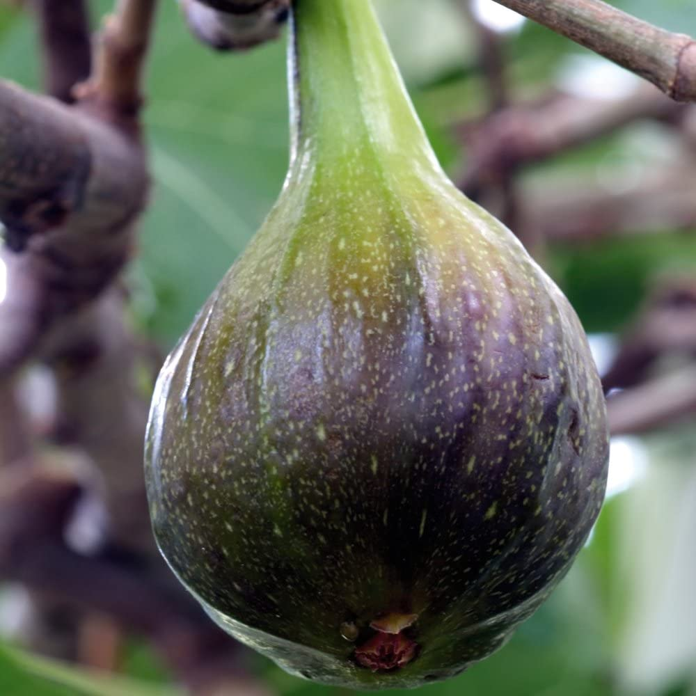 fig garden fruit tree patio plant hardy shrub self fertile variety producing heavy crops of sweet juicy figs 1 x 9cm ficus carica brown turkey by