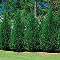 Murray Cypress, Nature's Privacy Fence, Green, Tall and Beautiful Hedge-liner, Hydrangeas Shrub, Evergreens, Gardenia