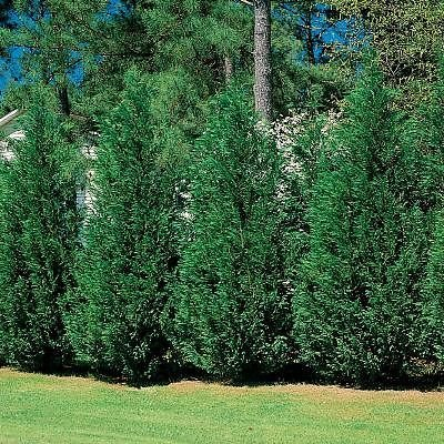 Leyland Cypress Security Hedge Trees to plant for privacy landscape ideas