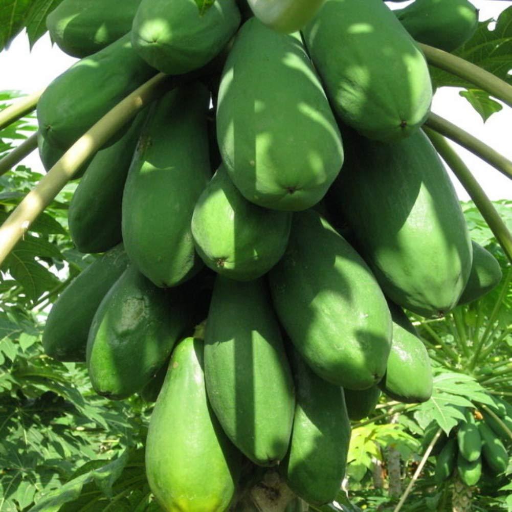 Wanyudz 20 Seeds//Pack Papaya Trees Seeds Florida Red Royale Organic Sweet Fruits Outdoor Plants