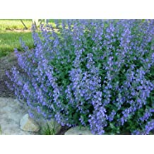 Catmint Walkers Low > Nepeta faassenii 'Walkers Low' >Landscape Ready 1 gallon Container