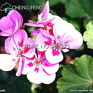 Gran venta 50pcs / lot variedad de colores violeta Semillas Las plantas de jardín de Plantas de interior Bonsai flores perennes de hierbas matthiola Incana de semillas