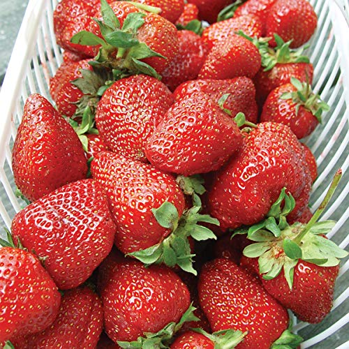 (Burpee 'Albion' June-Bearing Strawberry shipped as 25 BARE ROOT PLANTS)