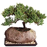 Brussel's Live Green Mound Juniper Outdoor Bonsai Tree in Rock Pot - 6 Years Old; 5'' to 7'' Tall with Humidity Tray & Deco Rock