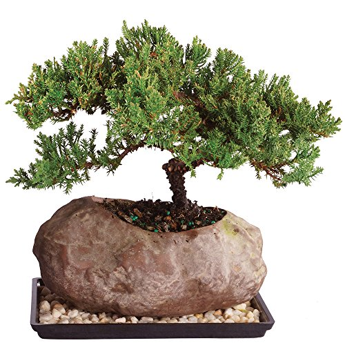 Outdoor Bonsai Tree - Brussel's Live Green Mound Juniper Outdoor Bonsai Tree in Rock Pot - 6 Years Old; 5
