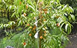 (5 in 1) PEACH Cocktail TREE - 5 different peaches on one plant (COCKTAIL Peach PLANT) Belle of Georgia,June gold, RED Haven, Hale haven, Elberta .