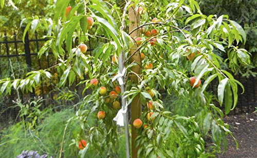 (5 in 1) PEACH Cocktail TREE - 5 different peaches on one plant (COCKTAIL Peach PLANT) Belle of Georgia,June gold, RED Haven, Hale haven, Elberta . by Pixies Gardens (Image #1)
