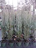 Sandys Nursery Online Juniper 'Skyrocket' Shrub/Evergreen Fast Grower! 4 inch pot ~Lot of 30~