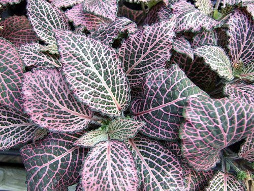 pink-veined-nerve-plant-fittonia-easy-house-plant-4-pot-by-hirts-house-plants