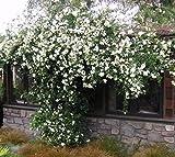 Lady Banks White Climbing Rose - 2-3 Feet Tall - Full Gallon Pot