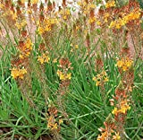 30 seeds of Perennial Bulbine frutescens - Orange African Bulbine. Spikes of star shaped orange flowers with succulent foliage!