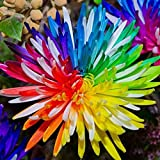 Adarl 20 pcs/Bag Rare Rainbow Chrysanthemum Seeds Home Garden Rare Flower Seeds Colorful Flower Seeds Professional Pack
