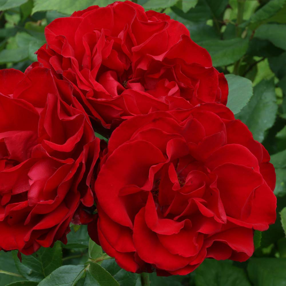Own-Root One Gallon Dublin Bay Climbing Rose by Heirloom Roses