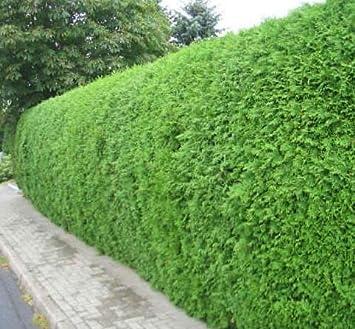 """Képtalálat a következőre: """"brabant hedge"""""""