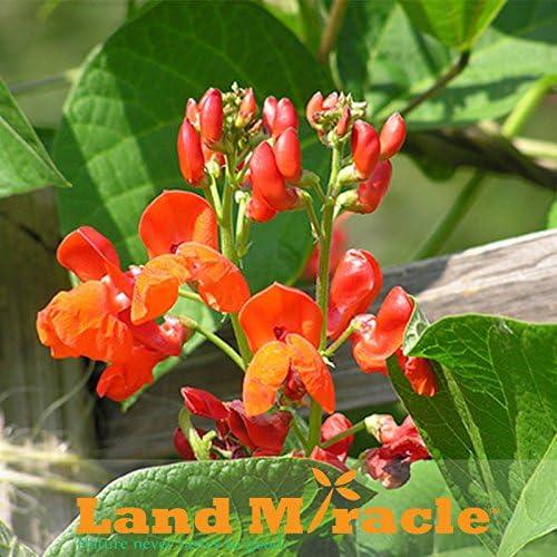 15seeds / paquete original, Phaseolus coccineus Semillas flor rara vegetal, semilla de frijol corredor escarlata, jardín de flores de frijol corredor: Amazon.es: Jardín