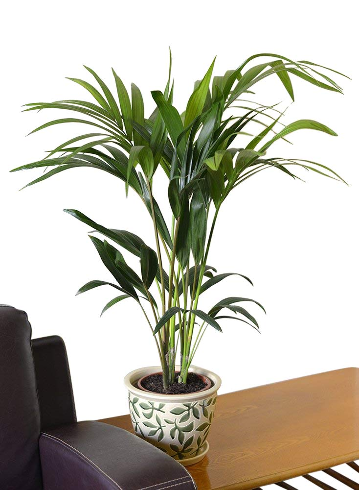 Indoor Plant-House or Office Plant-Howea Forsteriana Kentia Palm Apprx 90cm tall