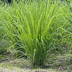 Semi originali 50pcs / lot Lemon Grass Seeds Cymbopogon Citratus perenne BonsaïPianta fai da te può fare Spedizione dell… 1 spesavip