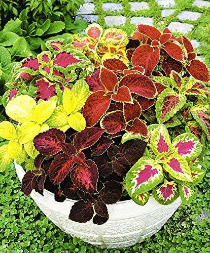 Amazon Com Seeds Coleus Bluma Flowers Mix Flowers For Planting
