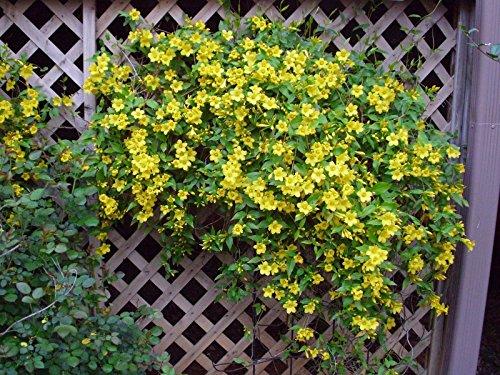 Fresh Carolina Jasmine (Gelsemium sempervirens Vine Rare Fragrant Flower Seed) 5 ()