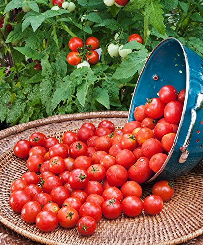 - Cicitar Garden- 100pcs Rare Husky Cherry Red Tomato Super Sweet Prolific, Organic Vegetable Seeds Exotic Hardy Perennial Garden