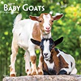 Baby Goats 2019 12 x 12 Inch Monthly Square Wall Calendar, Animals Domestic Baby Animals
