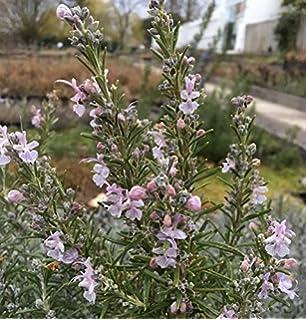 Garten Rosmarin Arp Rosmarinus Officinalis Arp P 1 Amazon