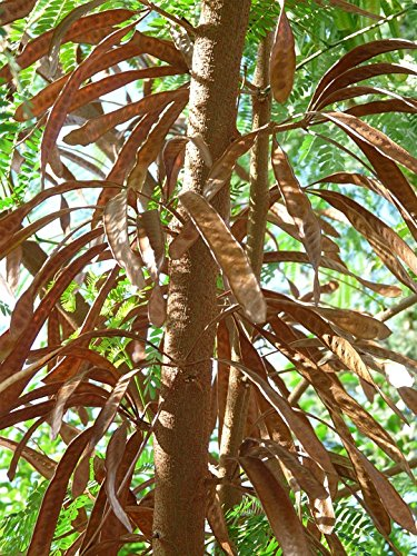 Amazoncom Home Comforts Canvas Print Ripe Acacia Seeds Pods Acacia