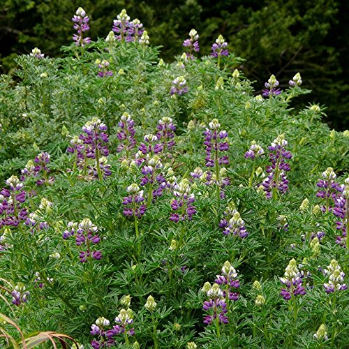30 Seeds of Perennial Lupinus propinquus - Blue Bush Lupine - California native with stunning clusters of lavender and white fragrant blooms!