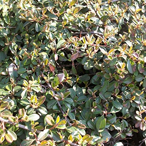 100 Stk. Cotoneaster dammeri 'Eichholz' - (Kriechmispel 'Eichholz')- Topfware 20-30 cm