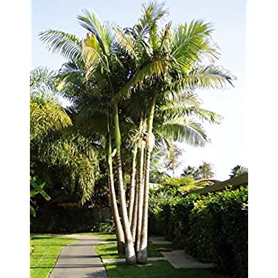 King Alexander Palm Live Rooted Potted Triple Seedlings 6-10 Inches Tall Drought Resistant Plant Easy to Grow Ready for Planting (3 Plant Pack) : Garden & Outdoor
