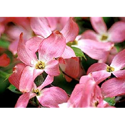 AchmadAnam - Live Plant - 5 - Red Flowering Dogwood Tree 2-4 ft : Garden & Outdoor