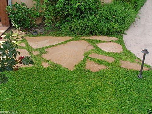 600 Semillas herniaria glabra - Verde Alfombra- Cubierta vegetal, crecer en el suelo pobre y grava: Amazon.es: Jardín