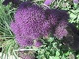 Trachelium caeruleum: blue throatwort