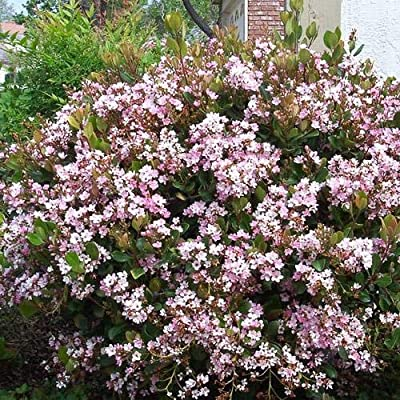 Eleanor Taber Indian Hawthorn : Garden & Outdoor