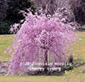 10 Pink Fountain Weeping Cherry Tree Seeds DIY Home Garden Dwarf Tree Seeds Perennial Free Shipping