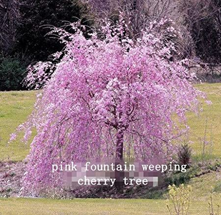 Amazon Com 10 Pink Fountain Weeping Cherry Tree Seeds Diy Home