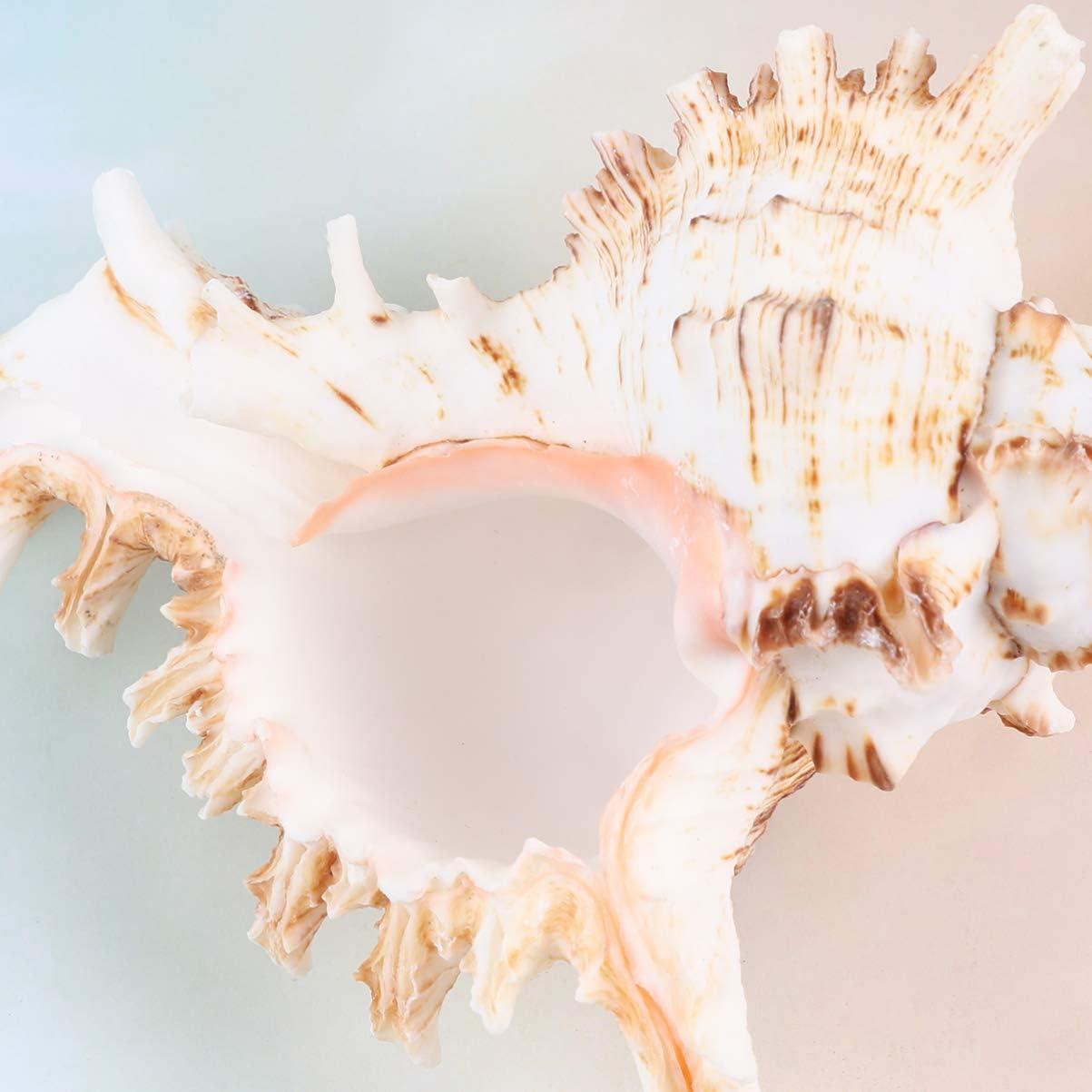 LIOOBO Concha de Mar Natural Concha de Mar Concha para Decoraci/ón de Boda Fiesta Tem/ática de Playa Manualidades DIY Tanque de Peces Acuario Paisaje Ornamento 10-11 Cm